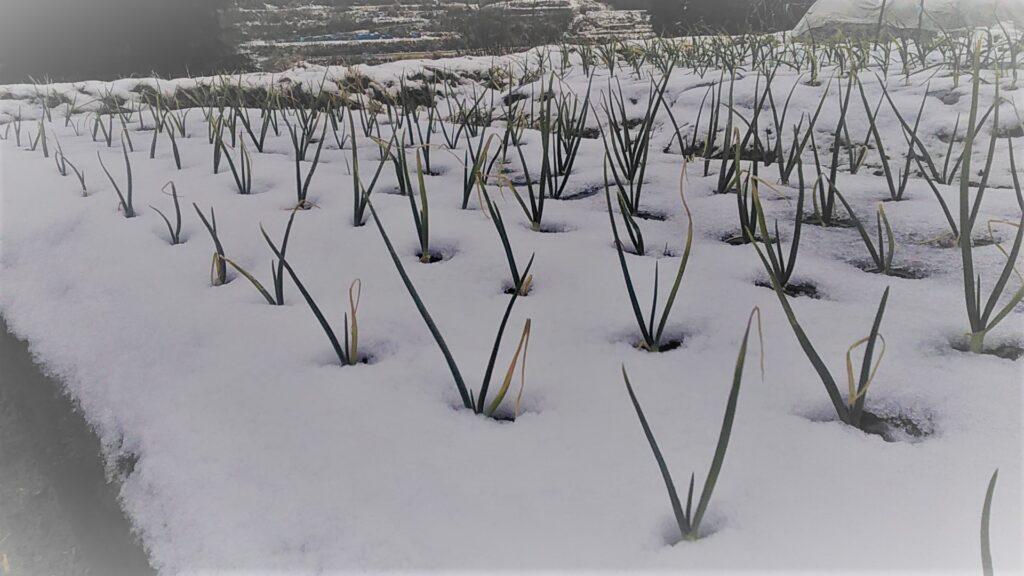 雪の中のタマネギ